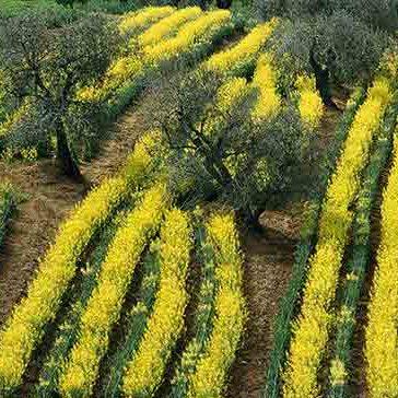imm-olio-ulivi